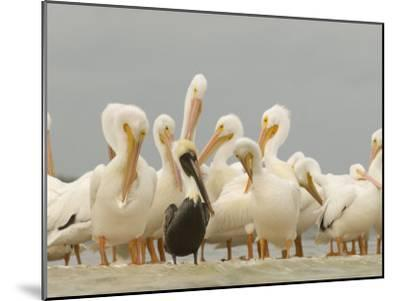 Brown Pelican Among Over-Wintering American White Pelicans-Klaus Nigge-Mounted Photographic Print
