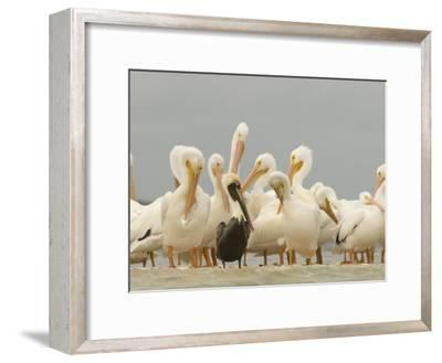 Brown Pelican Among Over-Wintering American White Pelicans-Klaus Nigge-Framed Photographic Print