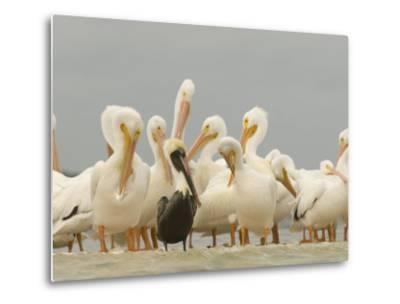 Brown Pelican Among Over-Wintering American White Pelicans-Klaus Nigge-Metal Print