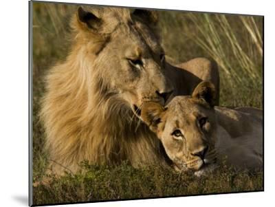 Male and Female African Lions, Panthera Leo, Nuzzling-Mattias Klum-Mounted Photographic Print