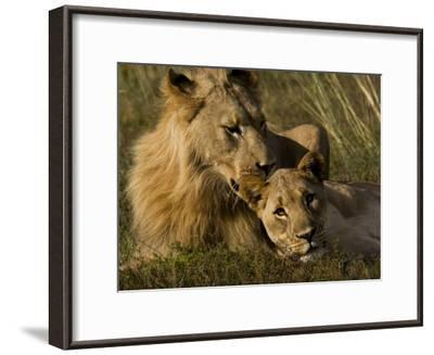 Male and Female African Lions, Panthera Leo, Nuzzling-Mattias Klum-Framed Photographic Print