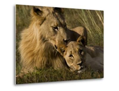 Male and Female African Lions, Panthera Leo, Nuzzling-Mattias Klum-Metal Print