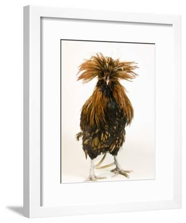 Golden Polish Chicken-Joel Sartore-Framed Photographic Print