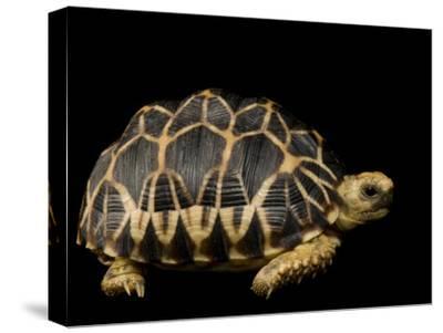 Critically Endangered Burmese Star Tortoise-Joel Sartore-Stretched Canvas Print