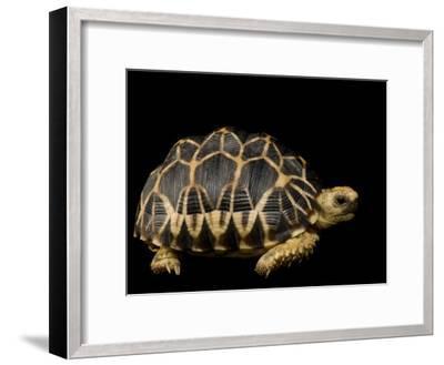 Critically Endangered Burmese Star Tortoise-Joel Sartore-Framed Photographic Print