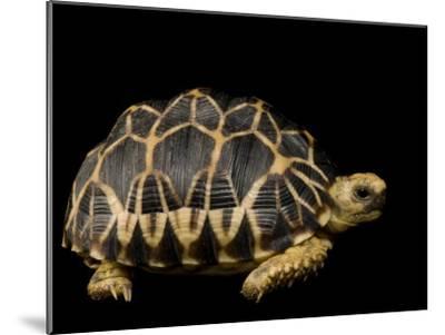 Critically Endangered Burmese Star Tortoise-Joel Sartore-Mounted Photographic Print