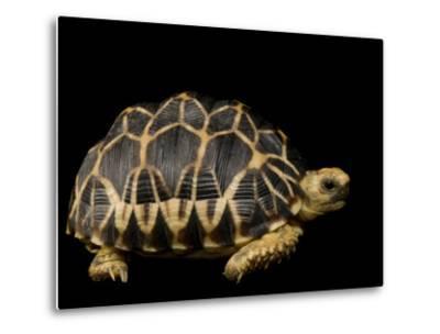 Critically Endangered Burmese Star Tortoise-Joel Sartore-Metal Print
