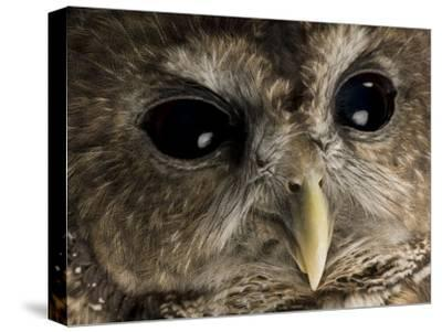 Threatened Northern Spotted Owl-Joel Sartore-Stretched Canvas Print
