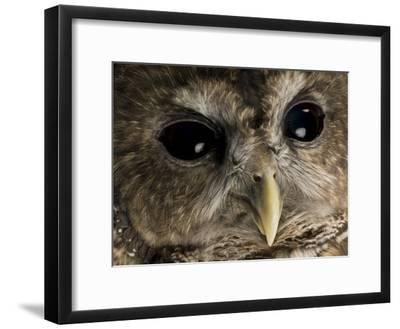 Threatened Northern Spotted Owl-Joel Sartore-Framed Photographic Print