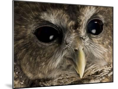 Threatened Northern Spotted Owl-Joel Sartore-Mounted Photographic Print