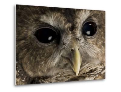 Threatened Northern Spotted Owl-Joel Sartore-Metal Print