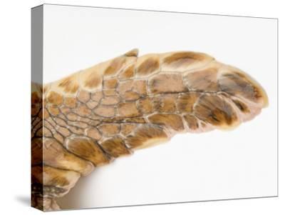 Federally Endangered Atlantic Loggerhead Turtle at Riverbanks Zoo-Joel Sartore-Stretched Canvas Print