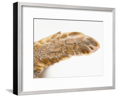 Federally Endangered Atlantic Loggerhead Turtle at Riverbanks Zoo-Joel Sartore-Framed Photographic Print