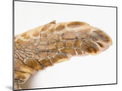Federally Endangered Atlantic Loggerhead Turtle at Riverbanks Zoo-Joel Sartore-Mounted Photographic Print
