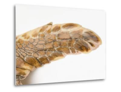 Federally Endangered Atlantic Loggerhead Turtle at Riverbanks Zoo-Joel Sartore-Metal Print