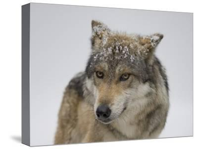 Mexican Gray Wolf at the Wild Canid Survival and Research Center-Joel Sartore-Stretched Canvas Print