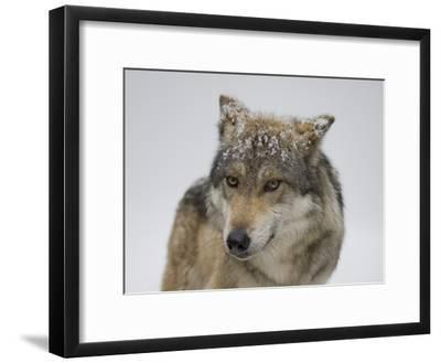 Mexican Gray Wolf at the Wild Canid Survival and Research Center-Joel Sartore-Framed Photographic Print