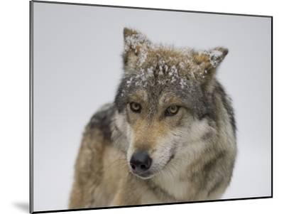 Mexican Gray Wolf at the Wild Canid Survival and Research Center-Joel Sartore-Mounted Photographic Print