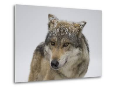Mexican Gray Wolf at the Wild Canid Survival and Research Center-Joel Sartore-Metal Print