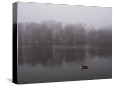 Canada Goose on a Lake in the Fog-Todd Gipstein-Stretched Canvas Print