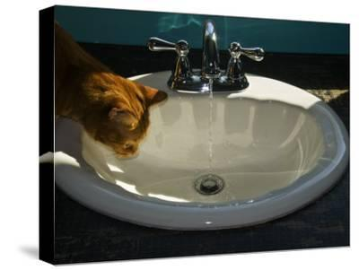 Orange Tabby Cat Watching Water Flow into a Bathroom Sink-Todd Gipstein-Stretched Canvas Print