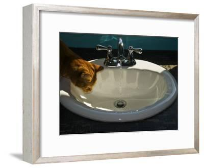 Orange Tabby Cat Watching Water Flow into a Bathroom Sink-Todd Gipstein-Framed Photographic Print