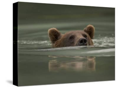 Alaskan Brown Bear Swims across River-Michael S^ Quinton-Stretched Canvas Print
