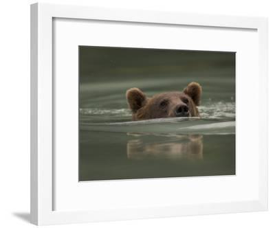 Alaskan Brown Bear Swims across River-Michael S^ Quinton-Framed Photographic Print