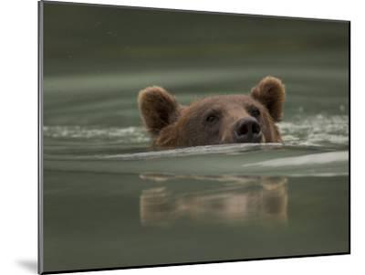 Alaskan Brown Bear Swims across River-Michael S^ Quinton-Mounted Photographic Print