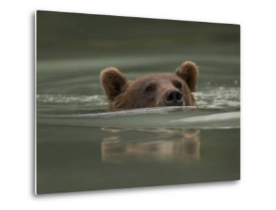 Alaskan Brown Bear Swims across River-Michael S^ Quinton-Metal Print