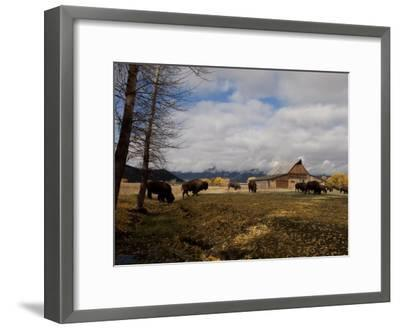 Buffalo in Front of Moulton Barn Near Grand Teton National Park-National Geographic Photographer-Framed Photographic Print