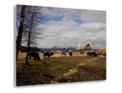Buffalo in Front of Moulton Barn Near Grand Teton National Park-National Geographic Photographer-Metal Print