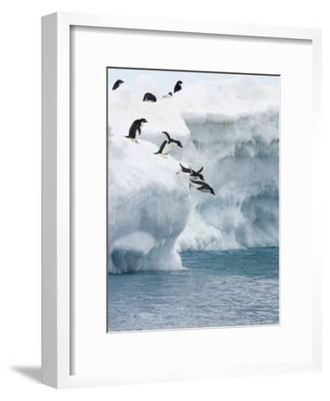 Adelie Penguins Lined Up to Jump from an Iceberg into Chilly Waters-Tom Murphy-Framed Photographic Print
