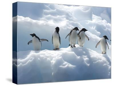 Adelie Penguins Lined Up on an Iceberg-Tom Murphy-Stretched Canvas Print