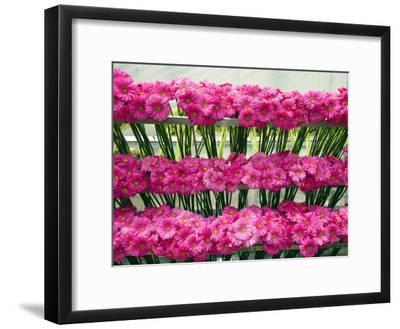 Harvested Gerbera Daisies Freshly Picked from Greenhouse-James Forte-Framed Photographic Print