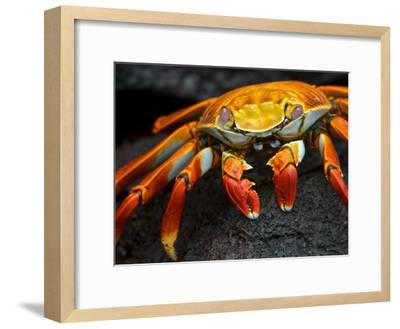 Sally Lightfoot Crab, Grapsus Grapsus, Foraging on Volcanic Rock-Tim Laman-Framed Photographic Print
