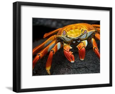 Sally Lightfoot Crab, Grapsus Grapsus, Foraging on Volcanic Rock-Tim Laman-Framed Photographic Print