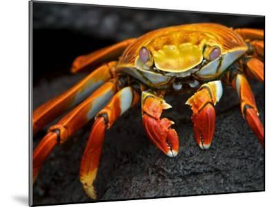 Sally Lightfoot Crab, Grapsus Grapsus, Foraging on Volcanic Rock-Tim Laman-Mounted Photographic Print