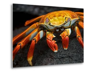 Sally Lightfoot Crab, Grapsus Grapsus, Foraging on Volcanic Rock-Tim Laman-Metal Print