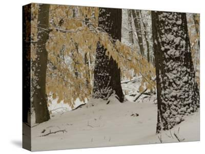 Forest Scene after a Snow Fall-Tim Laman-Stretched Canvas Print