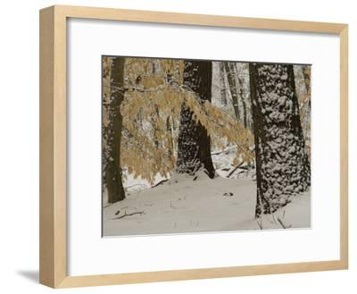 Forest Scene after a Snow Fall-Tim Laman-Framed Photographic Print
