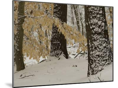 Forest Scene after a Snow Fall-Tim Laman-Mounted Photographic Print