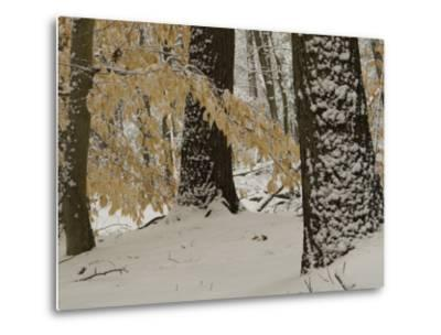 Forest Scene after a Snow Fall-Tim Laman-Metal Print