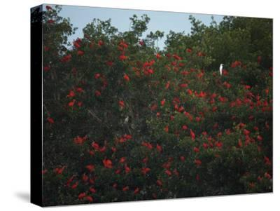 Scarlet Ibises Roosting in Mangrove Trees, a Lone Egret Among Them-Tim Laman-Stretched Canvas Print