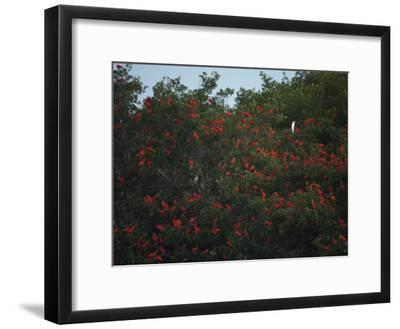 Scarlet Ibises Roosting in Mangrove Trees, a Lone Egret Among Them-Tim Laman-Framed Photographic Print