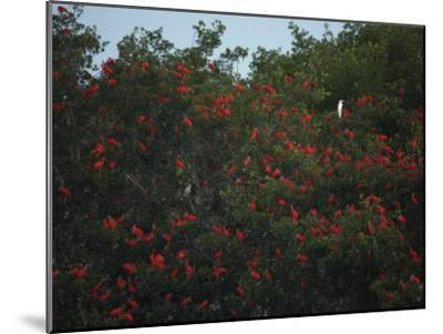 Scarlet Ibises Roosting in Mangrove Trees, a Lone Egret Among Them-Tim Laman-Mounted Photographic Print