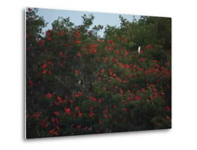 Scarlet Ibises Roosting in Mangrove Trees, a Lone Egret Among Them-Tim Laman-Metal Print