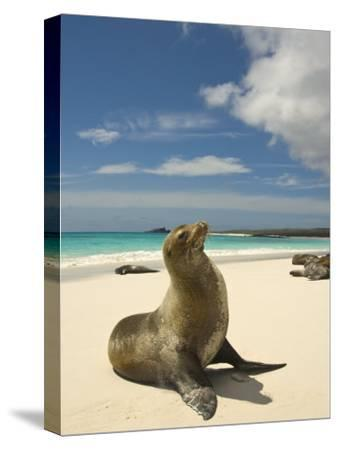 Galapagos Sea Lions Resting on a White Beach-Annie Griffiths Belt-Stretched Canvas Print