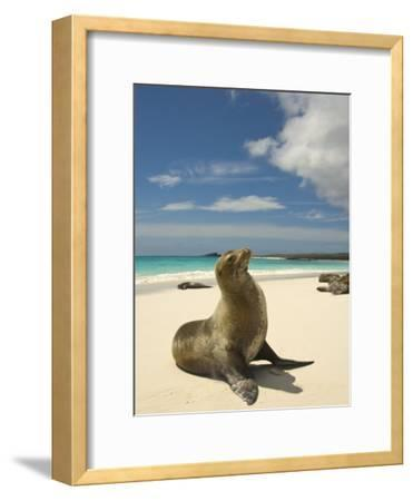 Galapagos Sea Lions Resting on a White Beach-Annie Griffiths Belt-Framed Photographic Print