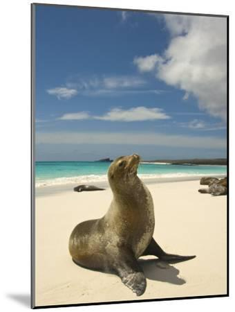 Galapagos Sea Lions Resting on a White Beach-Annie Griffiths Belt-Mounted Photographic Print